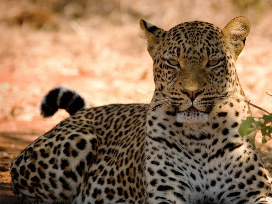 Male-leopard-in-Botswana-1024x576